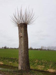 Hé, een nieuwe boomsoort: de knotpopulier!
