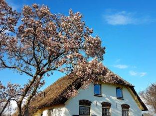 De magnolia's zijn nu ver uitgebloeid...